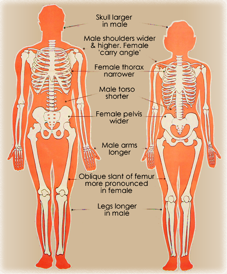 male-female_skeleton